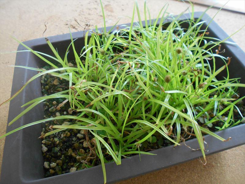 鉢に植えたヒメクグ