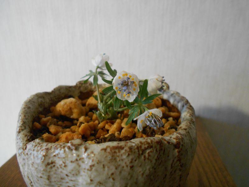 鉢植えの節分草