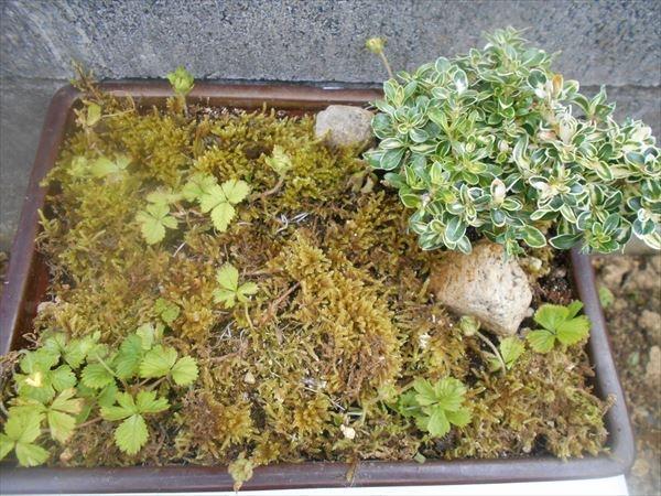 ヘビイチゴの盆栽