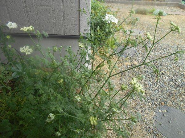 オルラヤホワイトレースフラワーの花