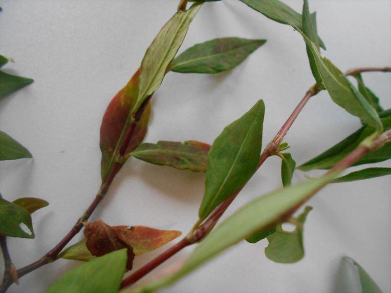 イヌタデの葉