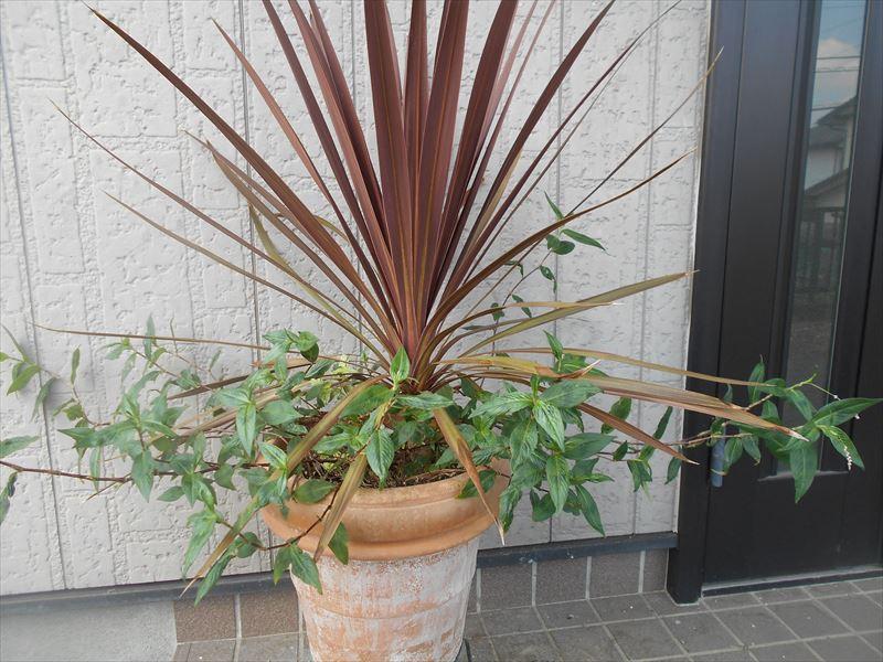 イヌタデの鉢植え