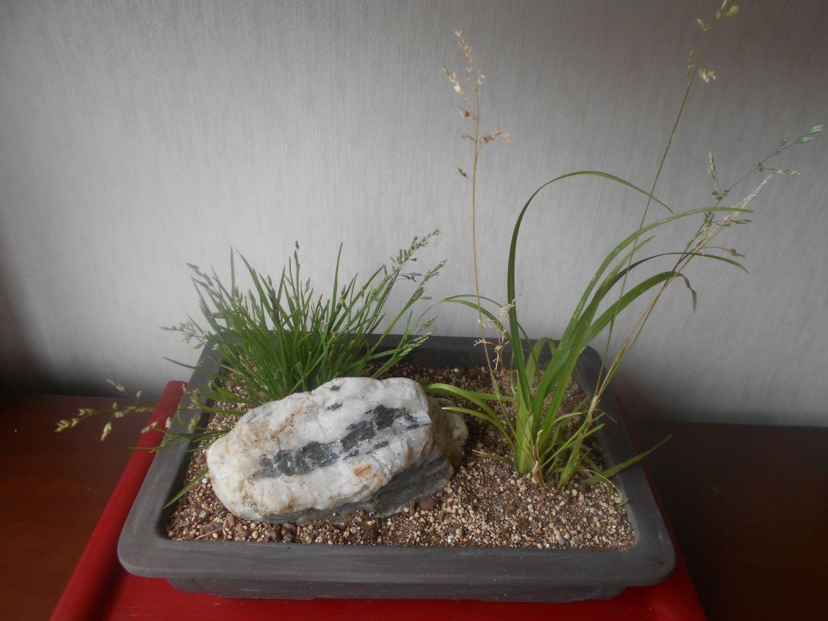 カゼクサとスズメノカタビラの盆栽