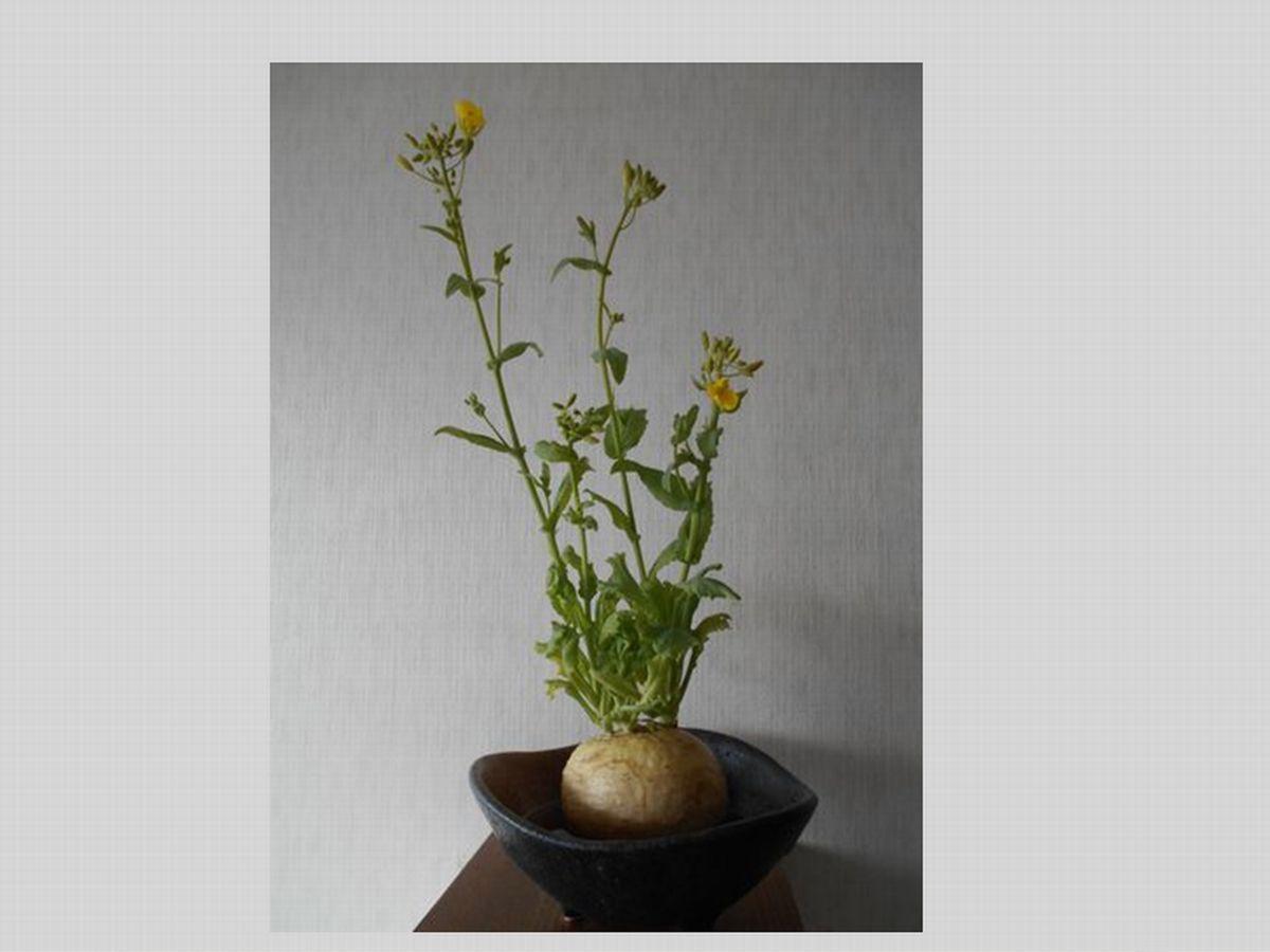 小蕪の花が咲く