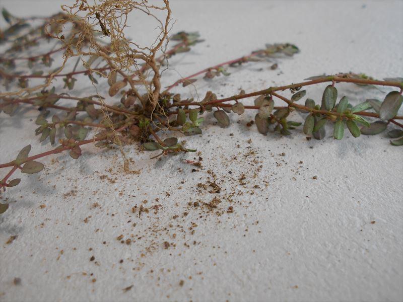 コニシキソウの根