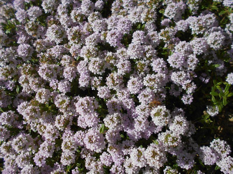 クリーピングタイムのピンク色の花