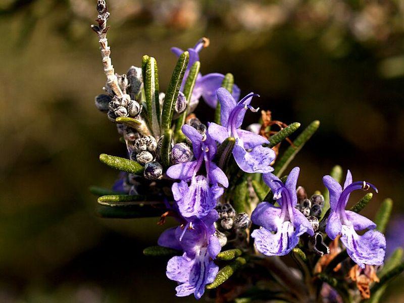 ロースマリーの花