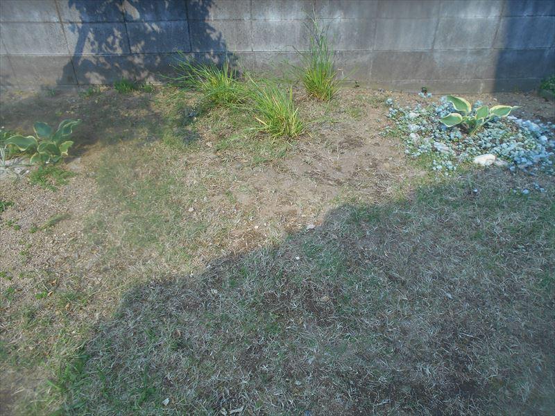 芝生の中のニワゼキショウ
