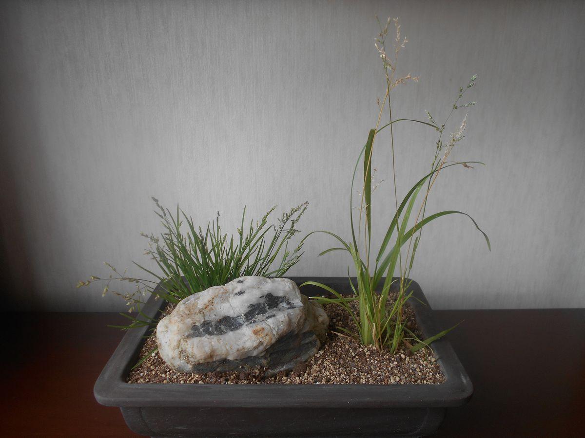 スズメノカタビラとカゼクサの盆栽