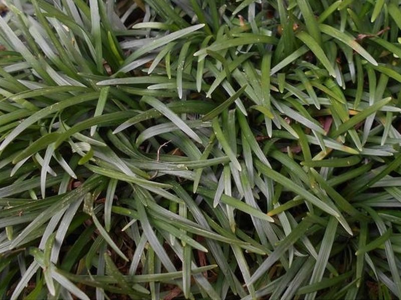 濃緑の玉竜の葉