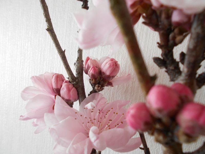 透き通るような花桃の花びら