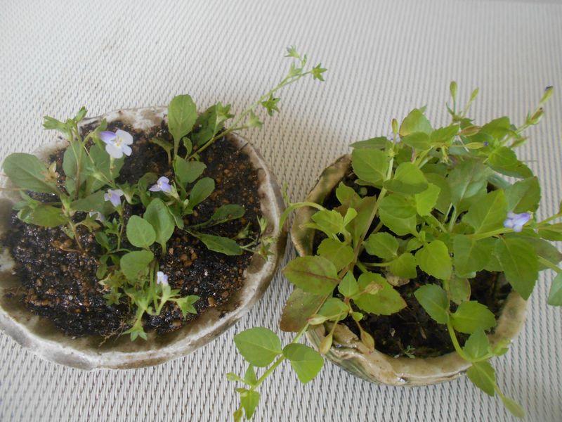 トキワハゼとウリクサのミニ盆栽